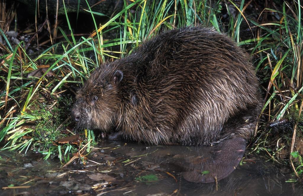 castor fiber (eurasian beaver) Eurasian Beaver Kit eurasian beaver