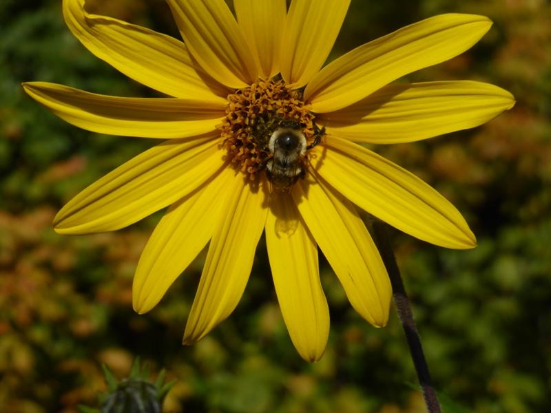 6cb36d34a1e9ac Bombus impatiens (Common Eastern Bumblebee)