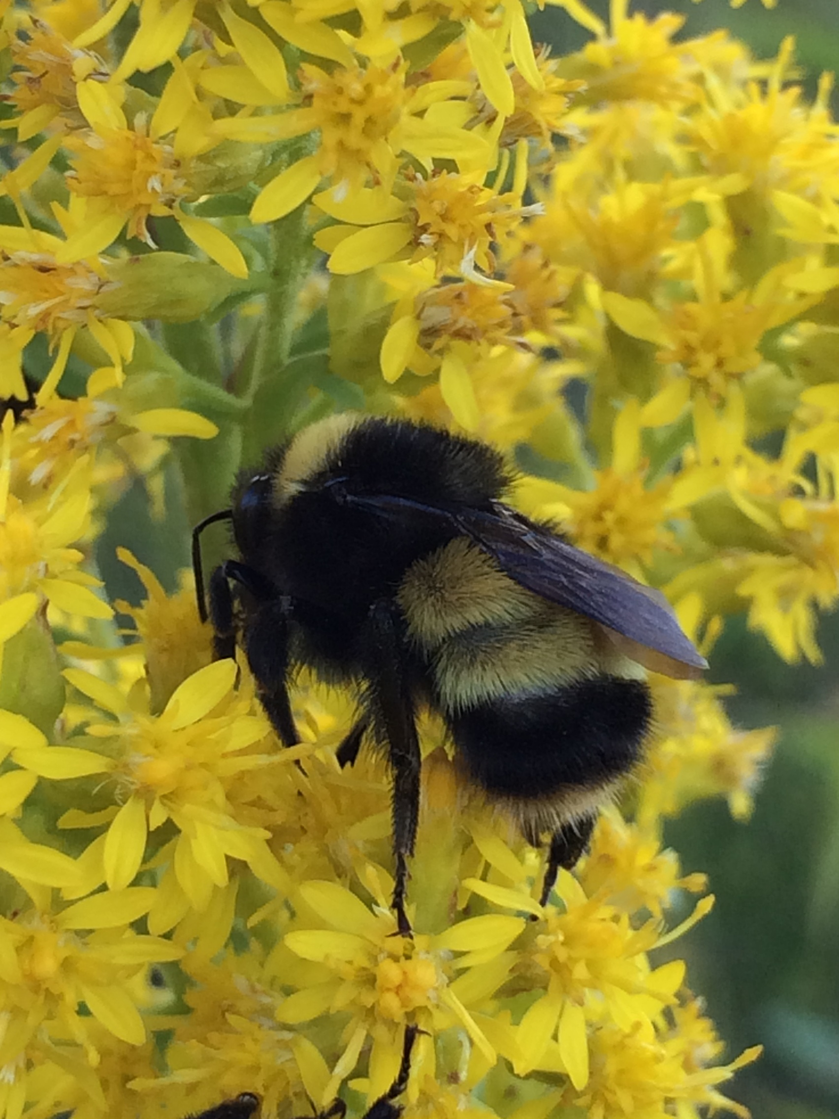 80a35d9ac1f95c Bombus terricola (Yellow-banded Bumblebee)