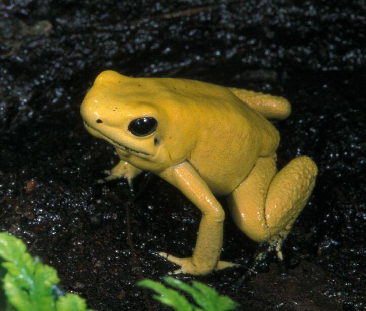 phyllobates terribilis golden poison frog