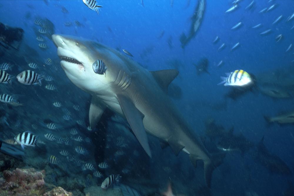 Carcharhinus leucas (Bull Shark)