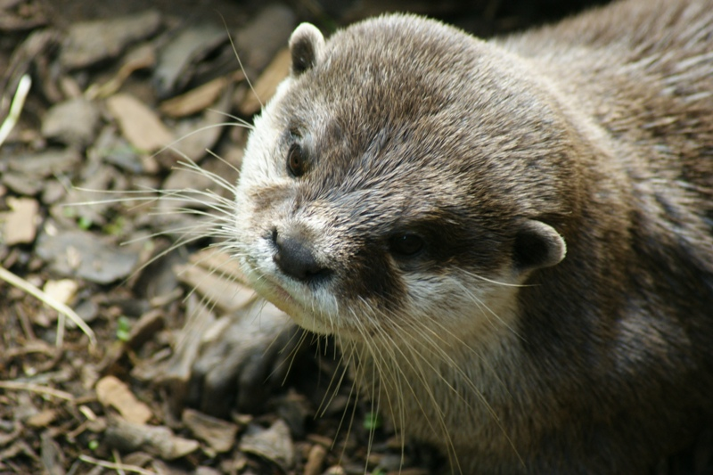 Aonyx cinereus (Asian Small-clawed Otter)