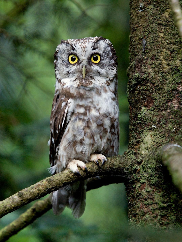 Aegolius funereus (Boreal Owl)