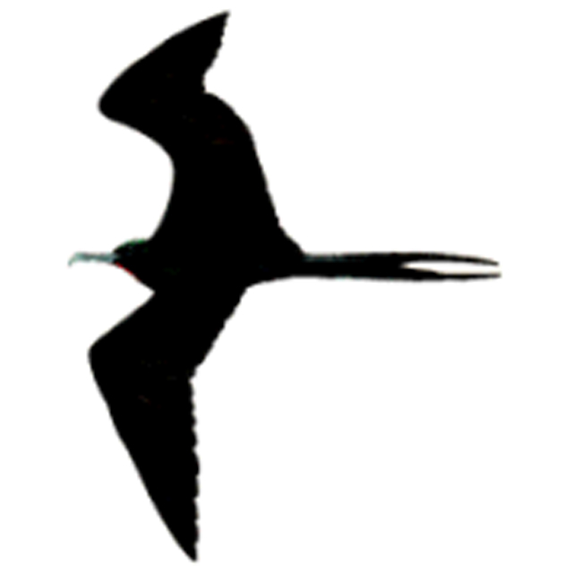 Fregata aquila (Ascension Frigatebird)