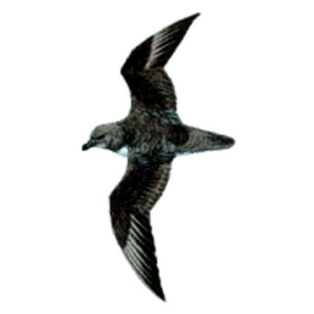 Pterodroma magentae (Magenta Petrel)