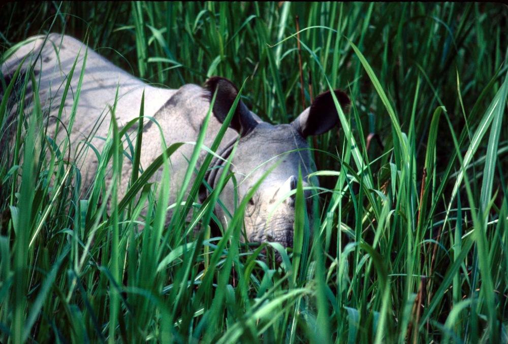 Rhinoceros unicornis (Indian Rhinoceros)