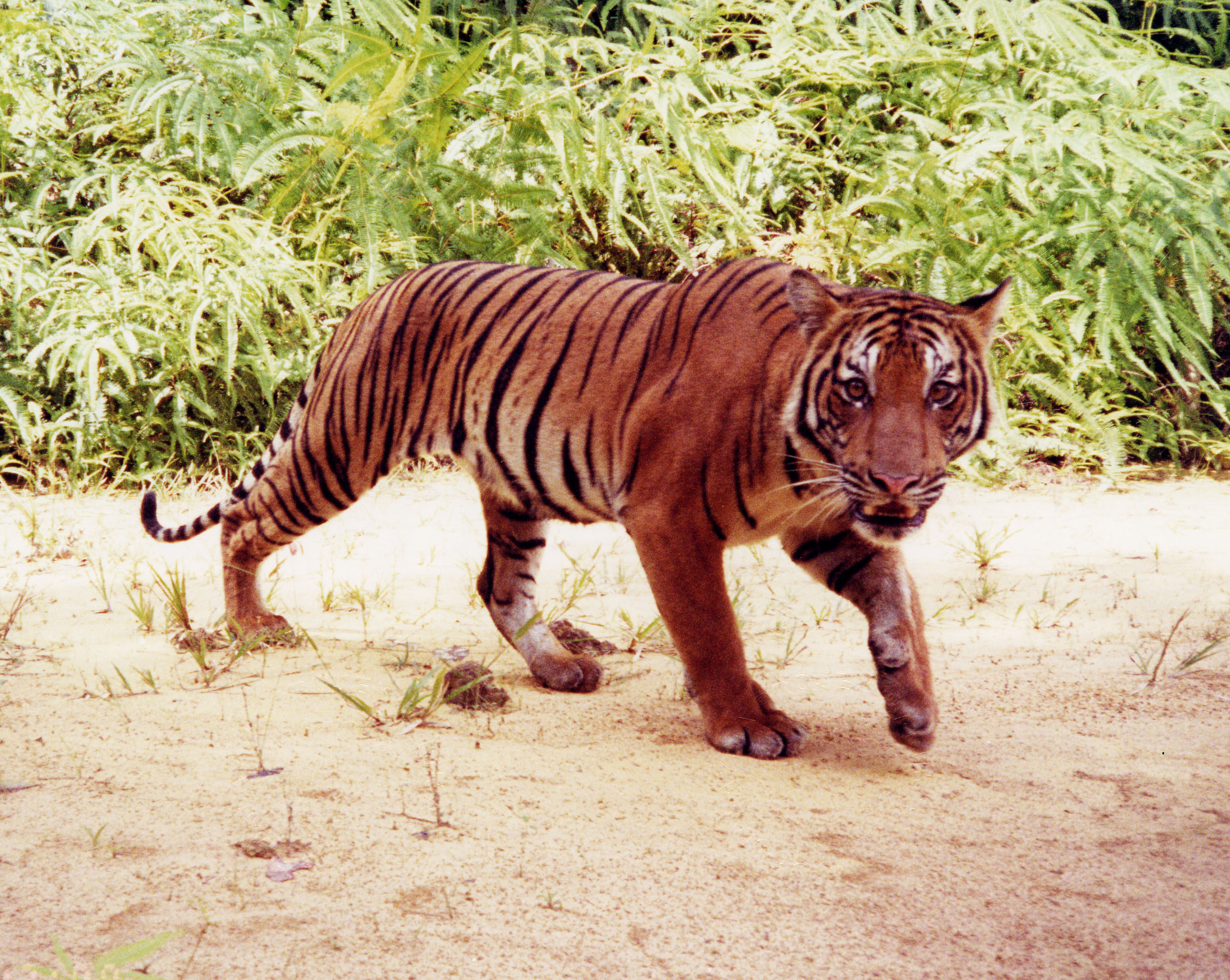 panthera tigris ssp. jacksoni (malayan tiger)