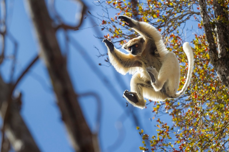 Propithecus tattersalli (Golden-crowned Sifaka)