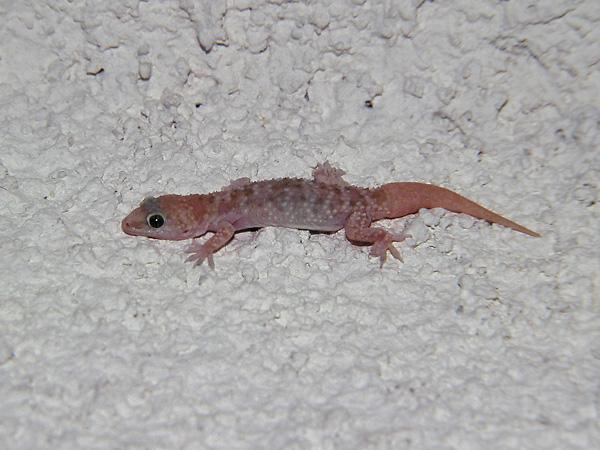 Hemidactylus Turcicus Turkish Gecko