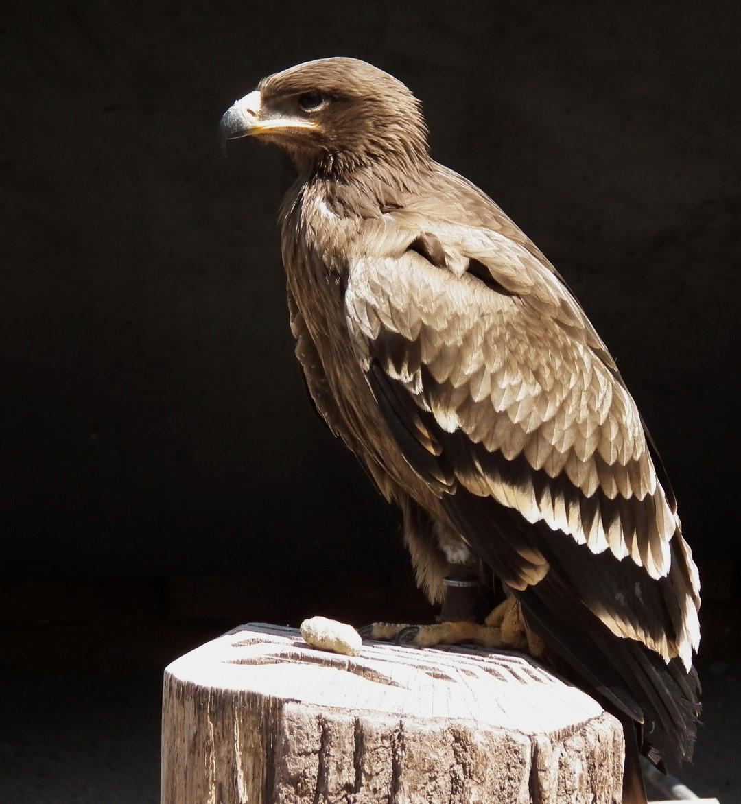 Aquila nipalensis (Steppe Eagle)