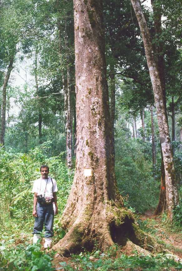 Dysoxylum malabaricum (White Cedar)