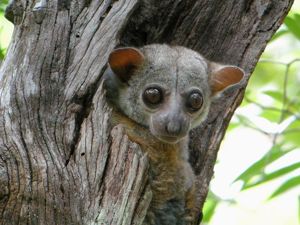 Lepilemur edwardsi (Milne-Edwards's Sportive Lemur)