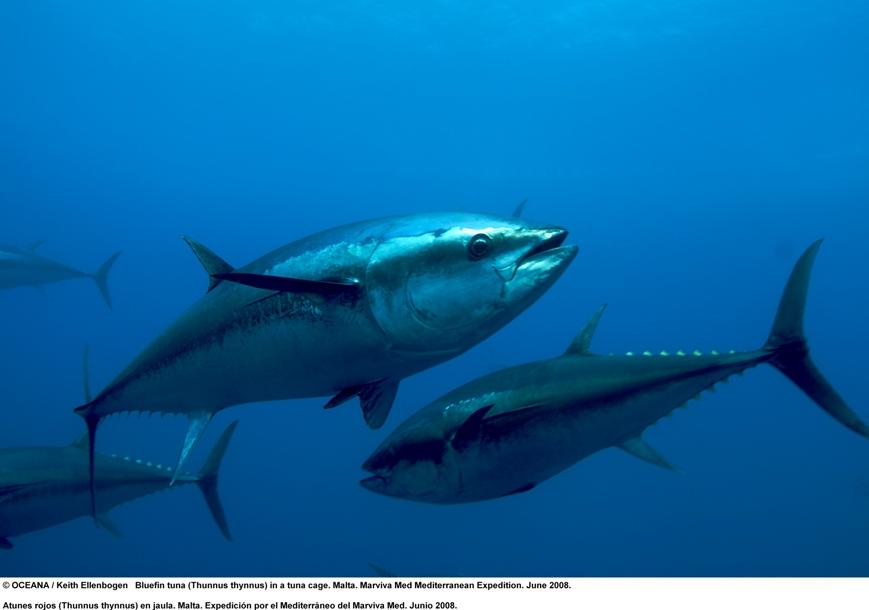 Thunnus thynnus (Atlantic Bluefin Tuna)