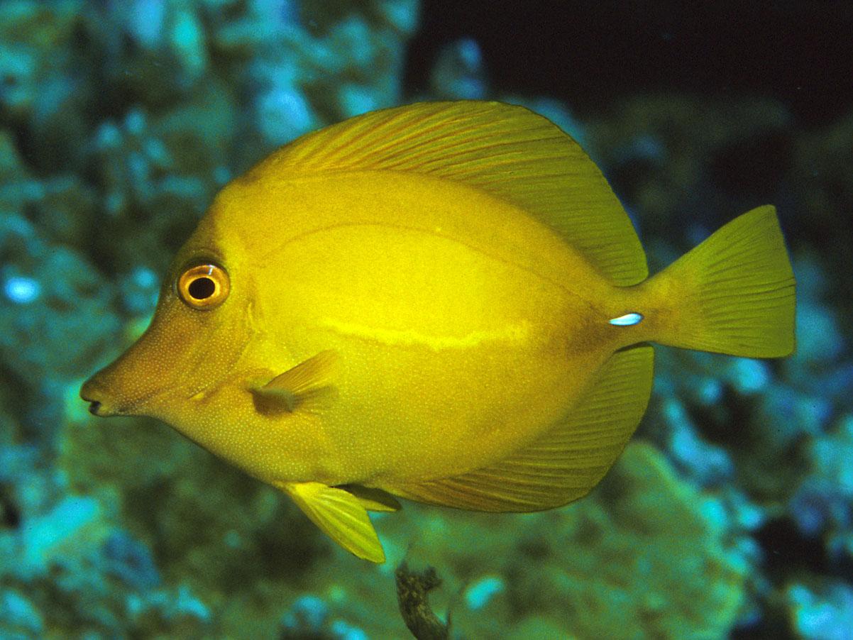 zebrasoma flavescens yellow tang