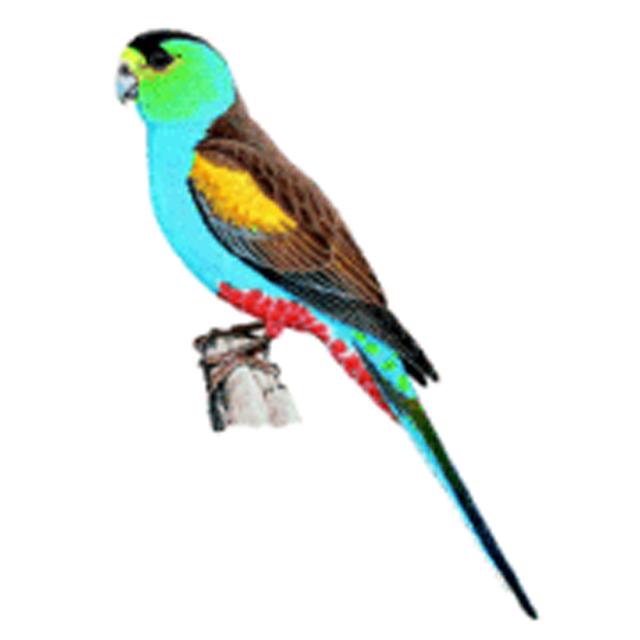 Psephotellus chrysopterygius (Golden-shouldered Parrot)