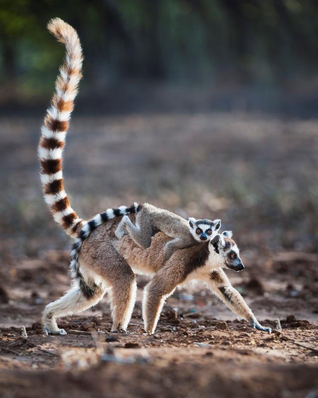 lemur catta ring tailed lemur