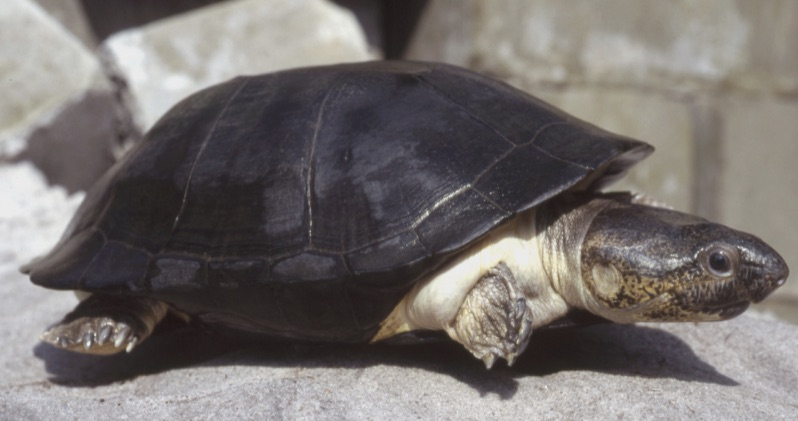 Pelusios niger (West African Black Mud Turtle)