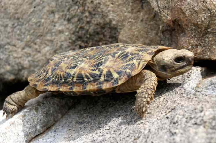 malacochersus tornieri (pancake tortoise)